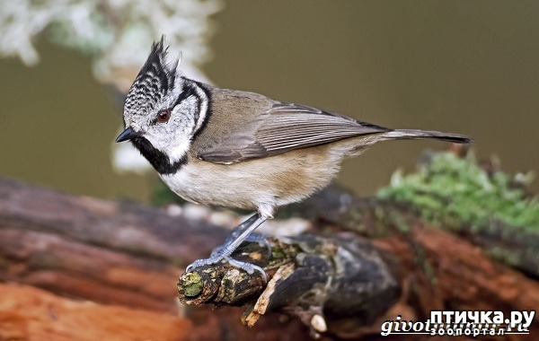 фото 13: Синичка - замечательная птичка)