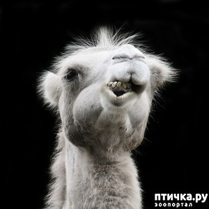 фото: Почему плюется верблюд?