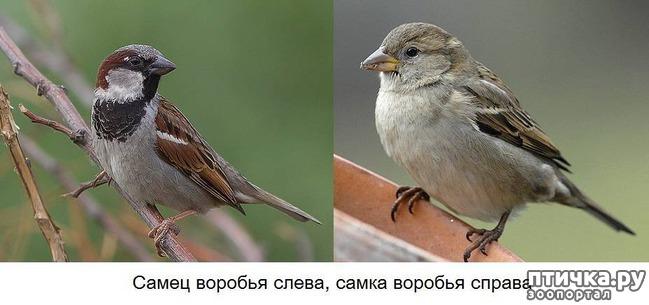 фото 9: Воробей - озорник и хулиган)