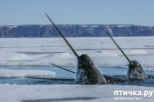 фото: Морской единорог