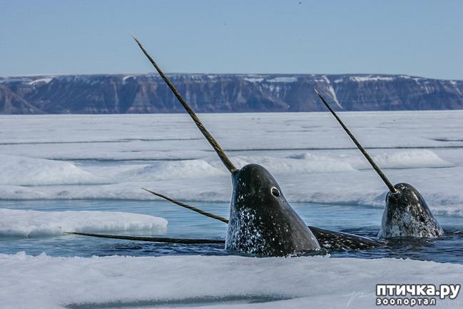 фото 1: Морской единорог