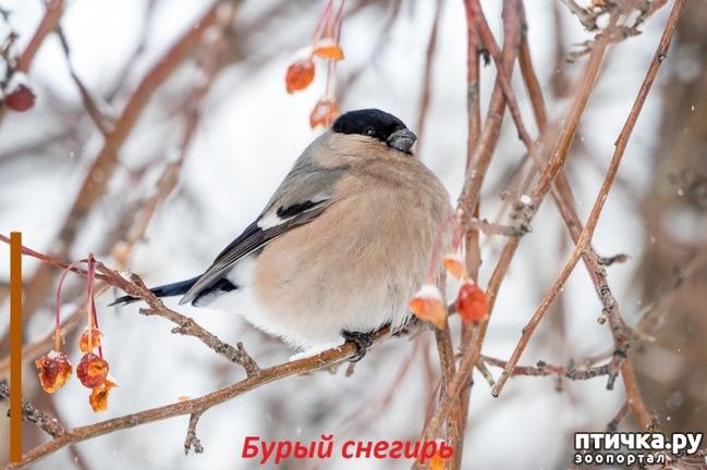 фото 9: Снегири - красногрудые генералы (и не только)))