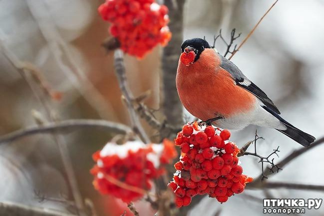 фото 11: Снегири - красногрудые генералы (и не только)))
