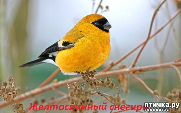 фото 12: Снегири - красногрудые генералы (и не только)))