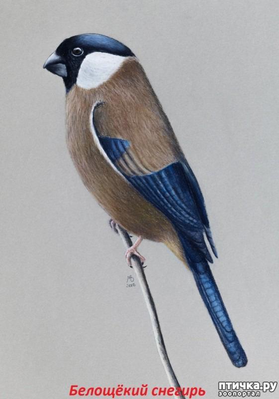 фото 14: Снегири - красногрудые генералы (и не только)))