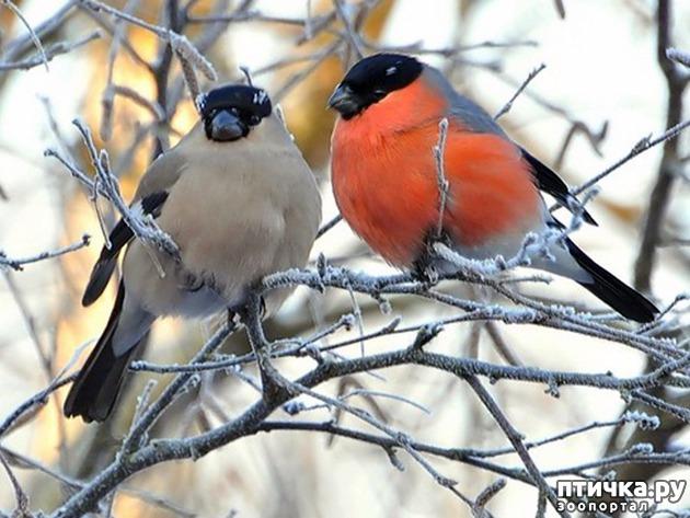 фото 4: Снегири - красногрудые генералы (и не только)))