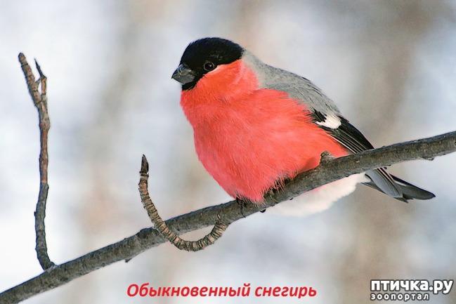 фото 5: Снегири - красногрудые генералы (и не только)))