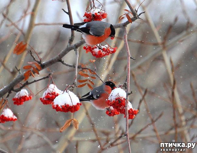 фото 15: Снегири - красногрудые генералы (и не только)))