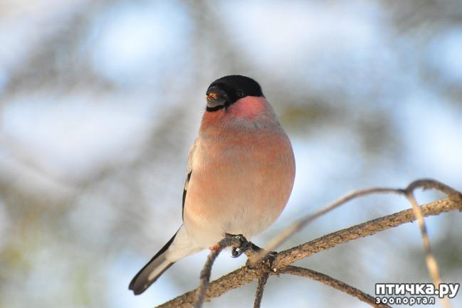 фото 6: Снегири - красногрудые генералы (и не только)))