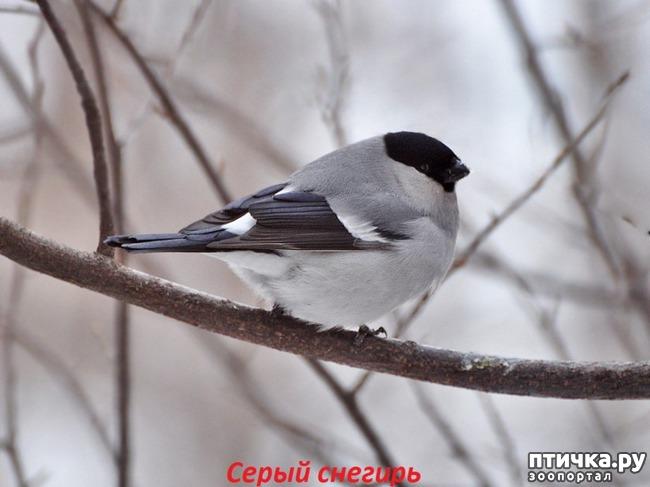 фото 8: Снегири - красногрудые генералы (и не только)))