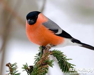 фото: Снегири - красногрудые генералы (и не только)))