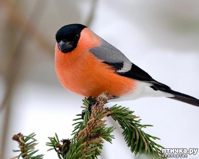 фото 1: Снегири - красногрудые генералы (и не только)))