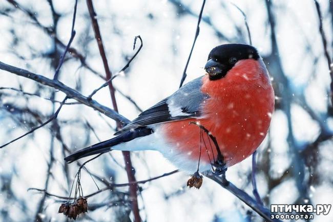 фото 2: Снегири - красногрудые генералы (и не только)))