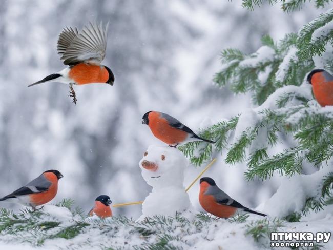 фото 18: Снегири - красногрудые генералы (и не только)))