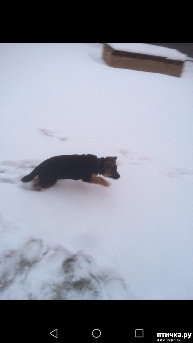 фото 2: Вопрос про поведение щенка