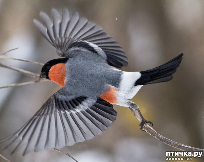 фото 19: Снегири - красногрудые генералы (и не только)))