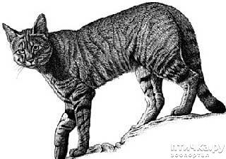 фото 2: Откуда есть и пошла абиссинская кошка - мифы и правда.