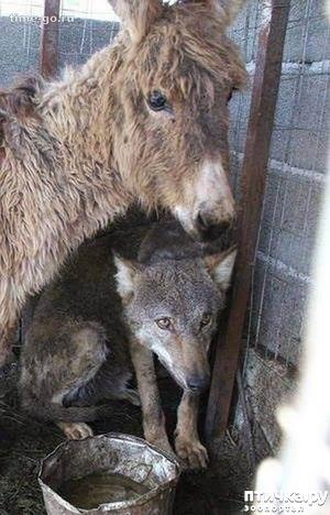 фото: И снова необычная дружба))) Волк и старый ослик...
