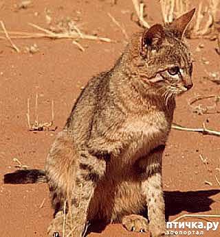 фото 3: Откуда есть и пошла абиссинская кошка - мифы и правда.