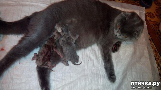 фото 5: Как помочь кошке во время родов