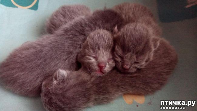 фото 10: Как помочь кошке во время родов
