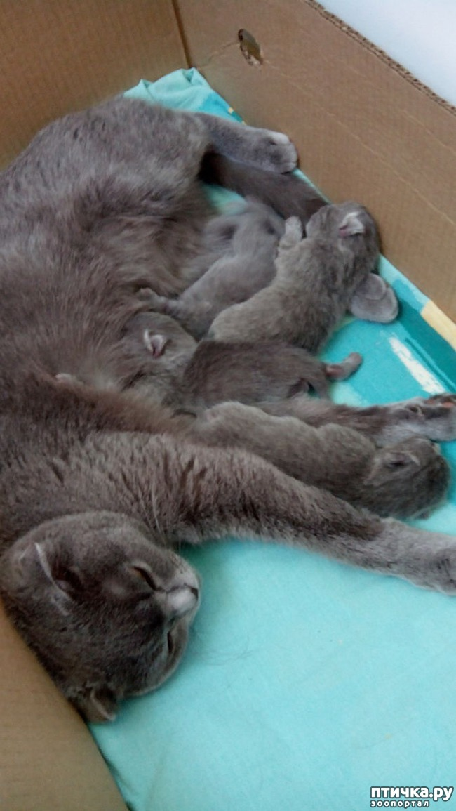 фото 11: Как помочь кошке во время родов