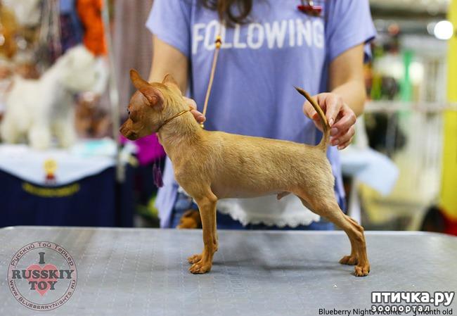 фото 2: Как выбрать щенка Русского тоя