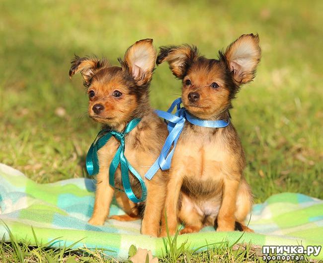 фото 3: Как выбрать щенка Русского тоя
