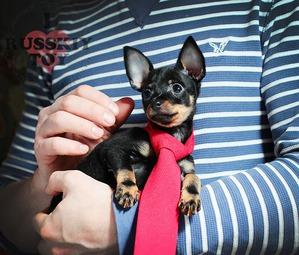 фото: Как выбрать щенка Русского тоя