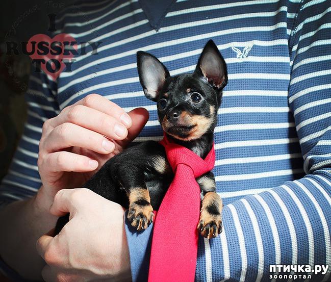 фото 1: Как выбрать щенка Русского тоя