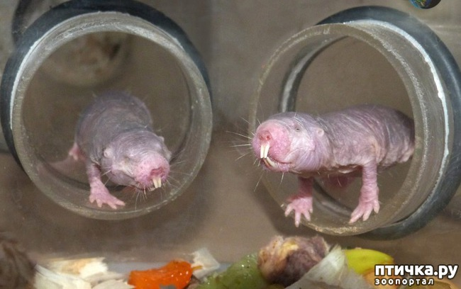 фото 5: Ни мышонок, ни лягушка, а неведома зверушка...