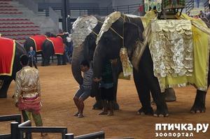 фото: Жизнь и привилегии тайских слонов