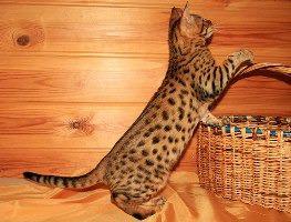 фото: Окрасы бенгальских кошек