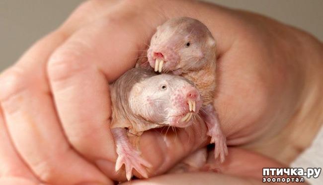 фото 3: Ни мышонок, ни лягушка, а неведома зверушка...