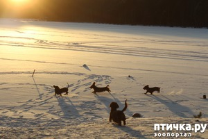 фото: Зимние таксячьи забавы