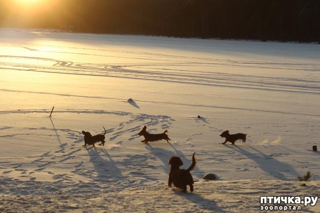 фото 1: Зимние таксячьи забавы