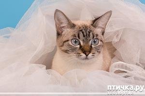 фото: Почему тайские кошки? Как я стала заводчиком.