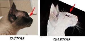 фото: Отличие современных тайских кошек от современных сиамских