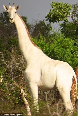 фото: Белые жирафы впервые сняты на видео в кенийском заповеднике