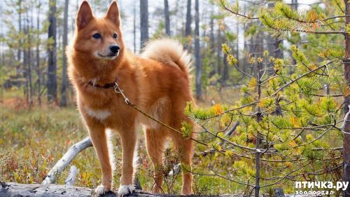 фото 1: Породы собак, похожие на лис.