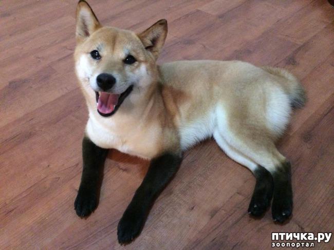фото 3: Породы собак, похожие на лис.