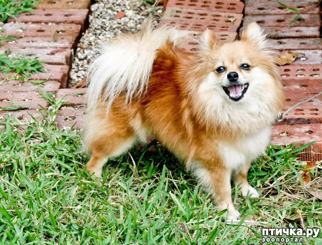 фото 4: Породы собак, похожие на лис.
