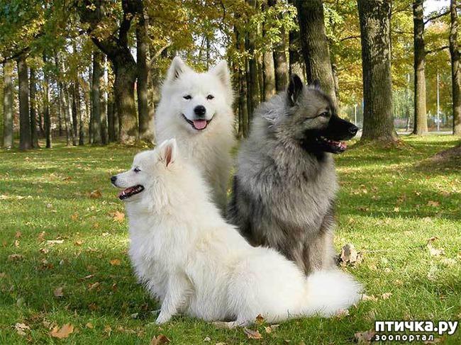 фото 5: Породы собак, похожие на лис.