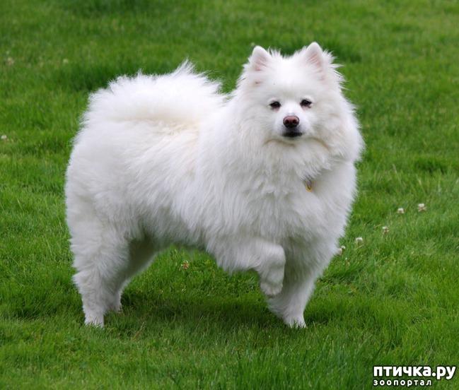 фото 6: Породы собак, похожие на лис.