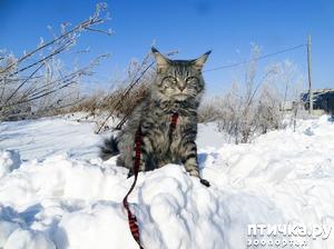 """фото: Акела """"патрулирует территорию"""" или просто приятная прогулка с мейн-куном."""