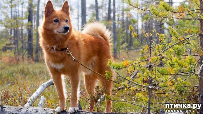 фото 7: Породы собак, похожие на лис.