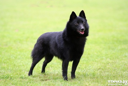 фото 8: Породы собак, похожие на лис.