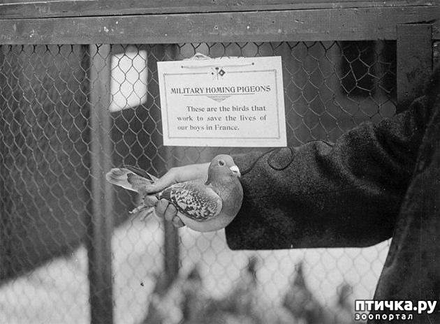 фото 2: Голуби-герои Первой и Второй мировой войны.