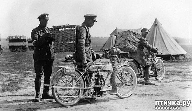 фото 3: Голуби-герои Первой и Второй мировой войны.