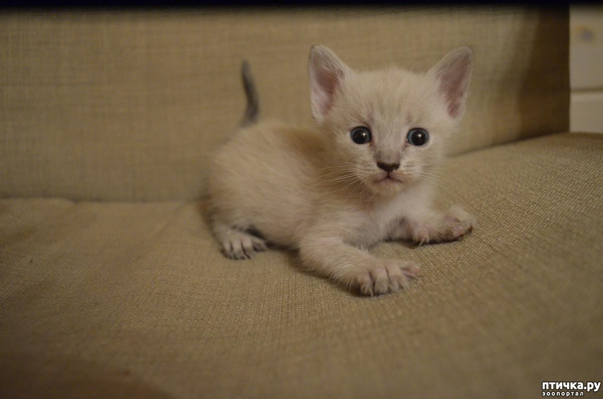 В каком возрасте покупать котенка